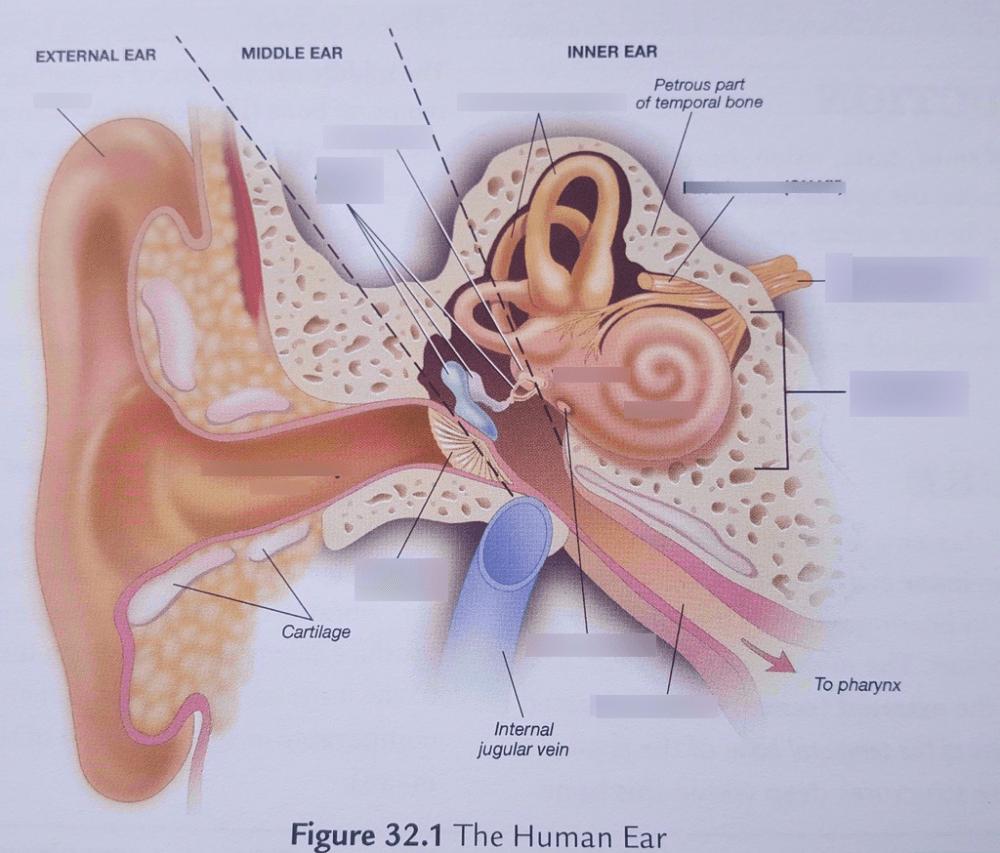 medium resolution of ear external ear diagram bone