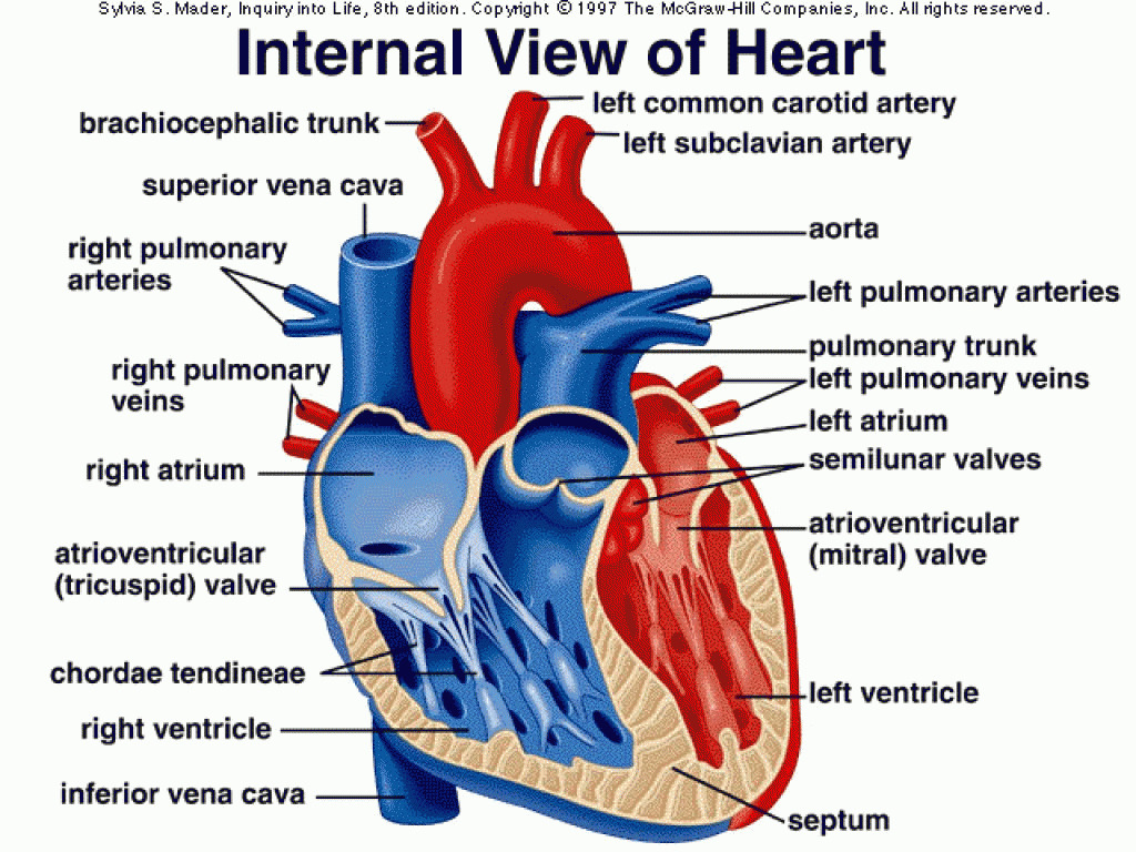 hight resolution of heart diagram mcgraw