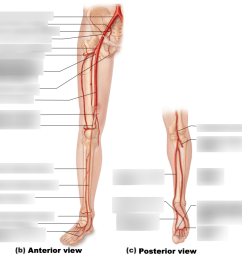 leg artery diagram of the right [ 1024 x 917 Pixel ]