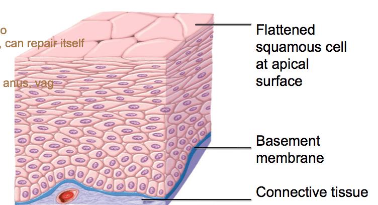 stratified columnar epithelium diagram fuse box panel wiring squamous quizlet