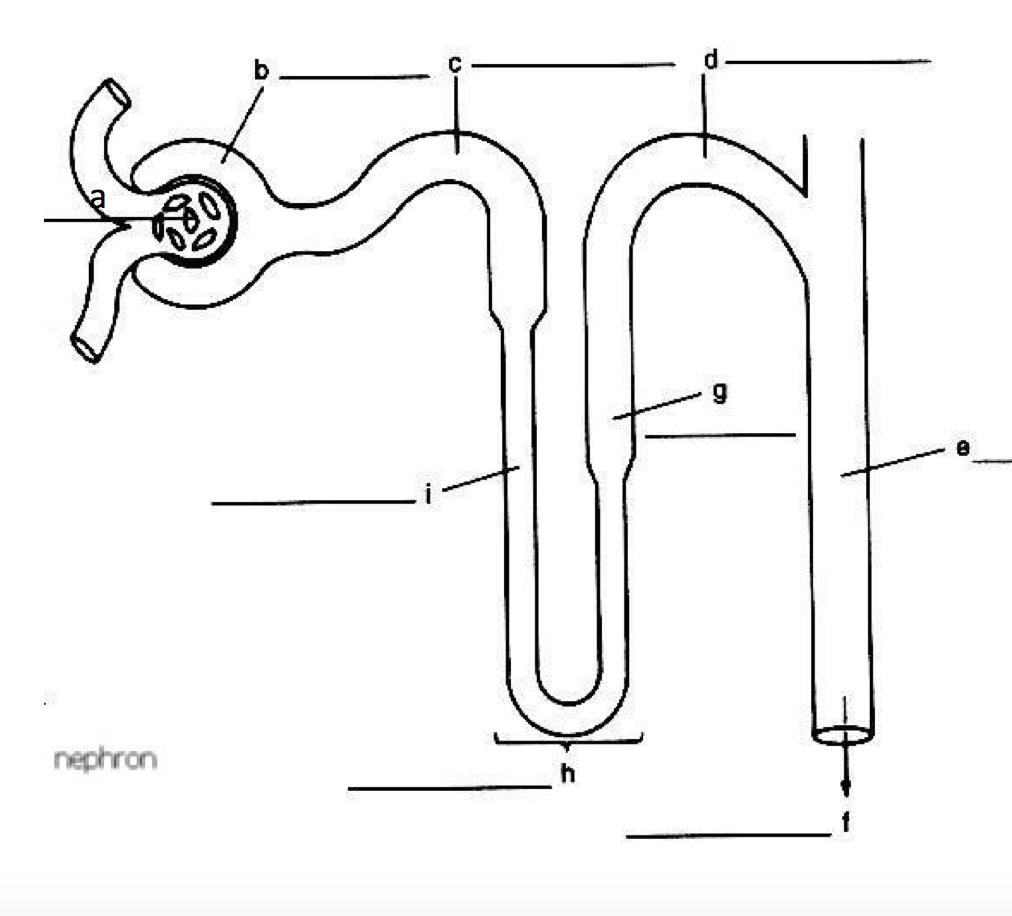 hight resolution of diagram of nephron w key