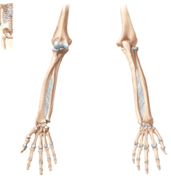 radius and ulna [ 1024 x 866 Pixel ]