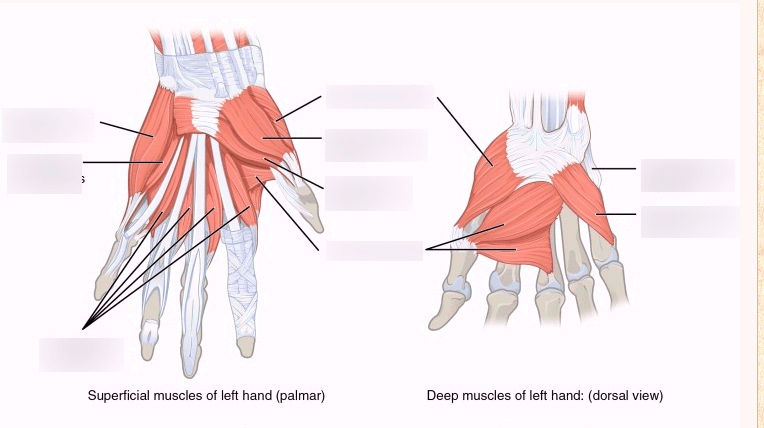 hand muscles diagram bulldog alarms wiring diagrams quizlet location
