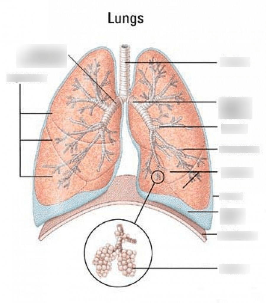 hight resolution of lung diagram diagram quizlet rh quizlet com diagram of lungs respiratory system diagram of lungs respiratory system