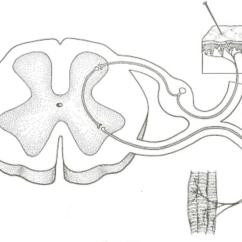 Reflex Arc Diagram John Deere Wiring Stx38 Neurobiology A Quizlet Location