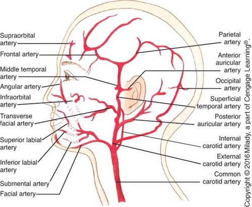 botox facial muscle diagram 1978 ford f150 fuse box arteries and veins | www.imagenesmy.com