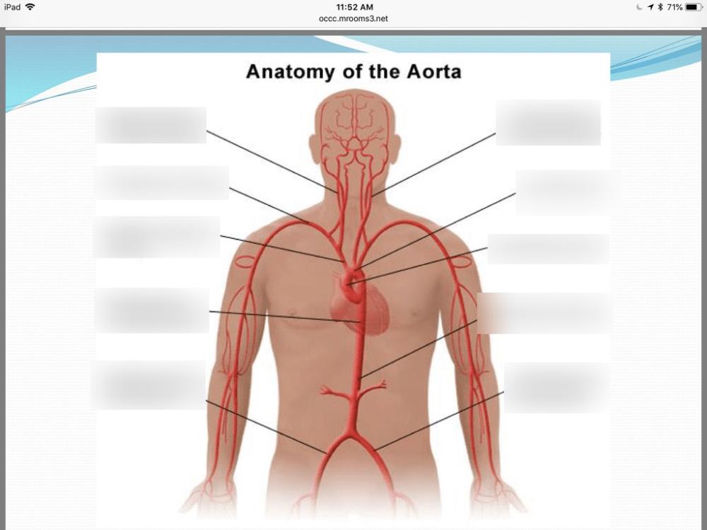 medium resolution of anatomy of aorta diagram quizlet aorta artery aorta diagram antomy