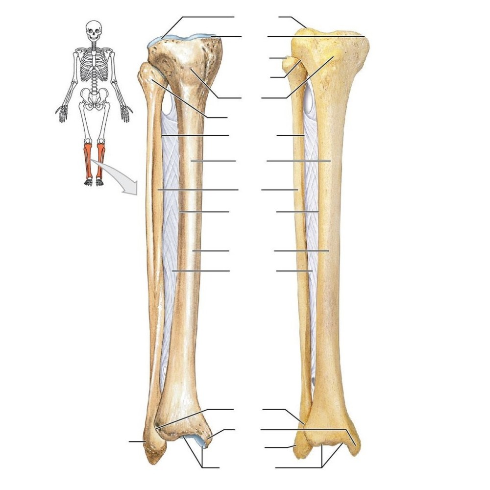 medium resolution of skeletal images for exam 1 right tibia and fibula anterior view