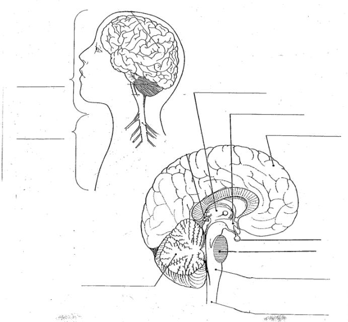 Nervous System Diagram Without Labels : Anterior Nervous