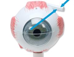 Eye Anatomy Model Flashcards | Quizlet
