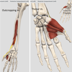 Hand Muscles Diagram Hip Joint Wrist And Thenar Outcropping Quizlet Location