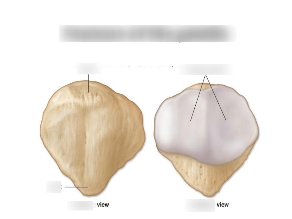 medium resolution of the patella