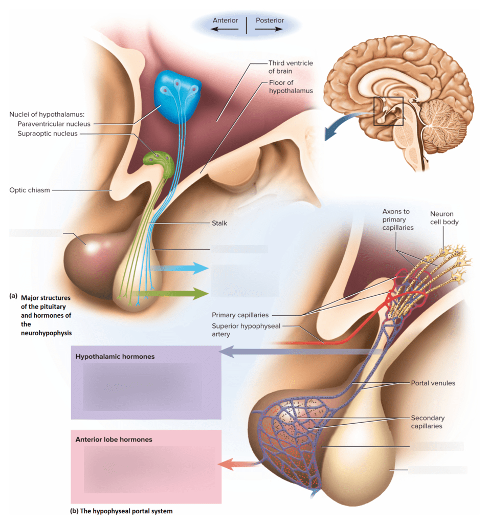 hight resolution of diagram of pituitary gland cell