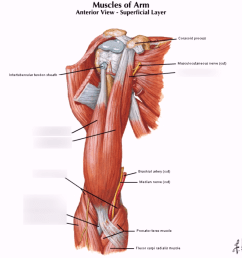arm tendon diagram [ 1024 x 933 Pixel ]