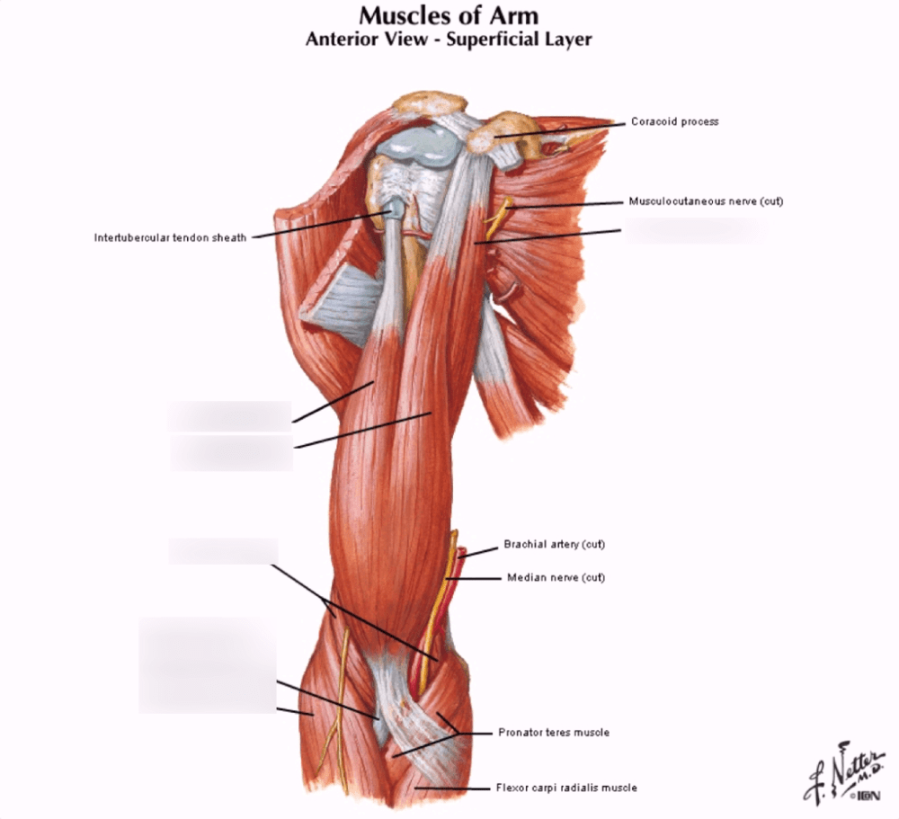 medium resolution of arm tendon diagram