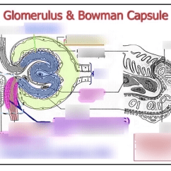 Bowman S Capsule Diagram Dia Editor Review Glomerulus And Quizlet Location Term