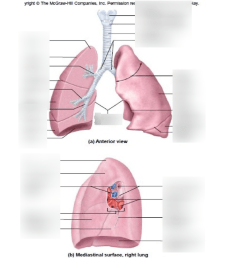diagram of anatomy of lung [ 791 x 1024 Pixel ]