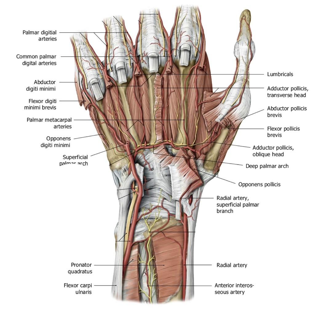 hand nerves diagram wiring kenwood car stereo wrist and 2 quizlet location