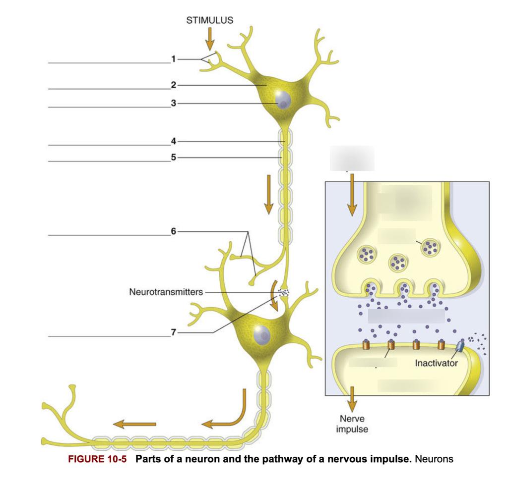 Nerve Impulse Pathway Diagram