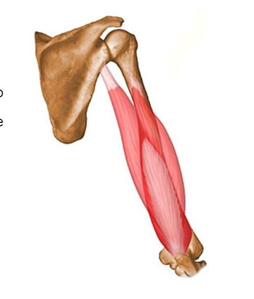 triceps brachii diagram 2004 dodge durango radio wiring quizlet location