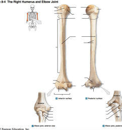 a p diagram 8 4 the right humerus elbow joint [ 1024 x 947 Pixel ]