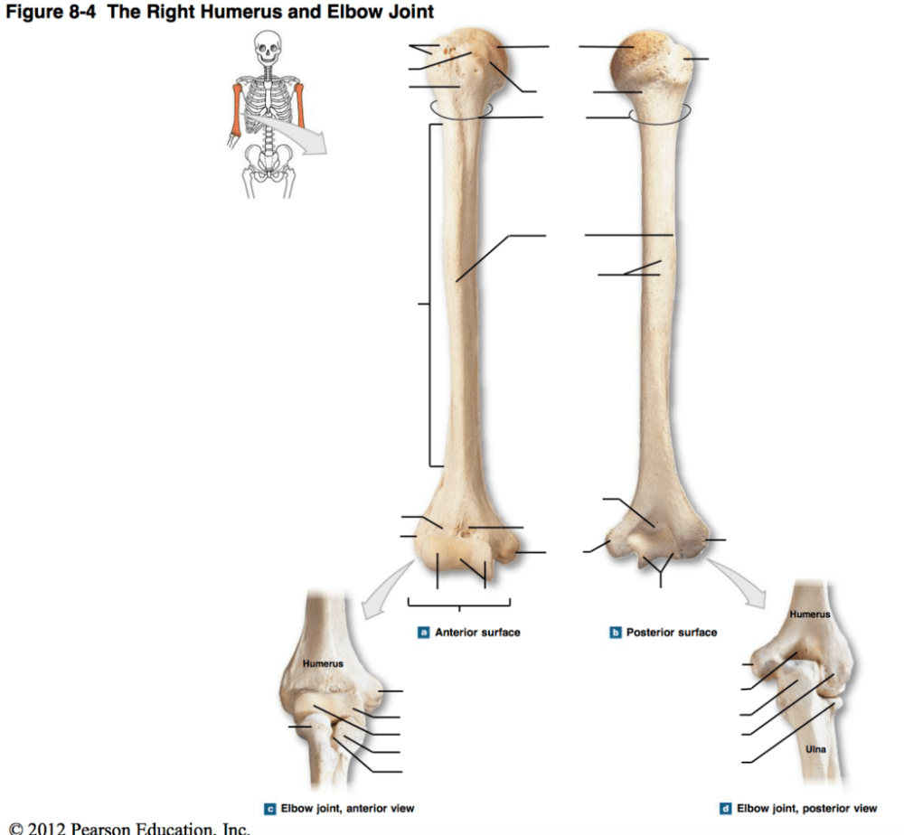medium resolution of a p diagram 8 4 the right humerus elbow joint