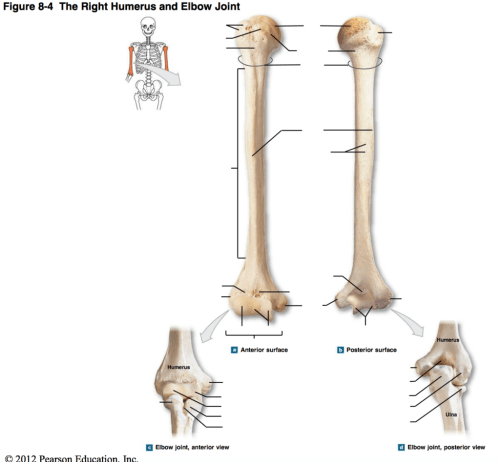 small resolution of a p diagram 8 4 the right humerus elbow joint