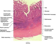 Digestive System Anatomy Flashcards   Quizlet