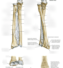 ulna diagram neck [ 854 x 1018 Pixel ]