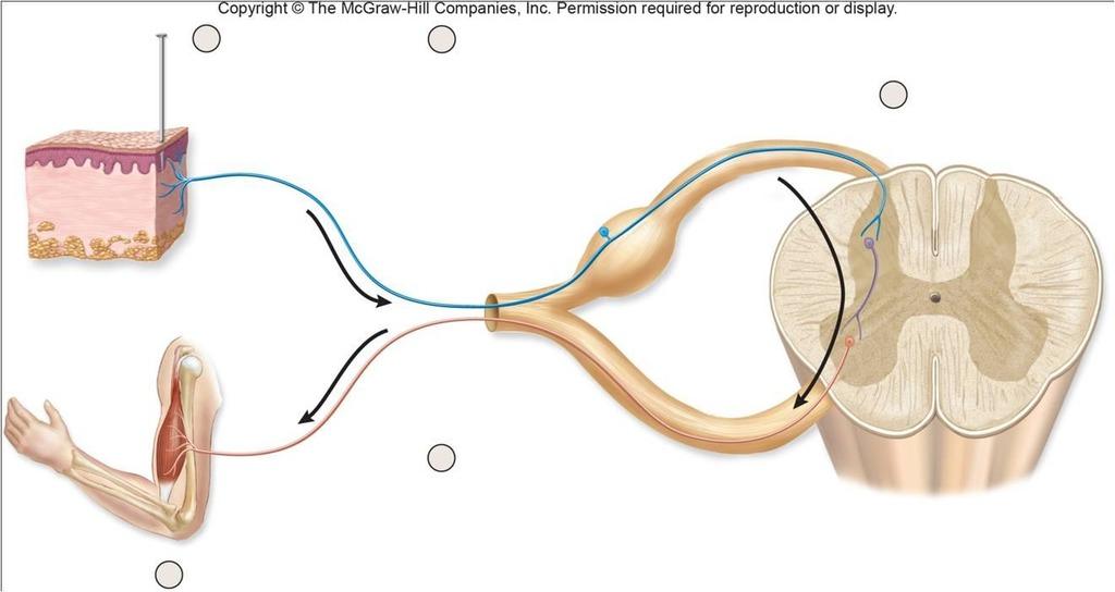reflex arc diagram 95 s10 starter wiring quizlet location