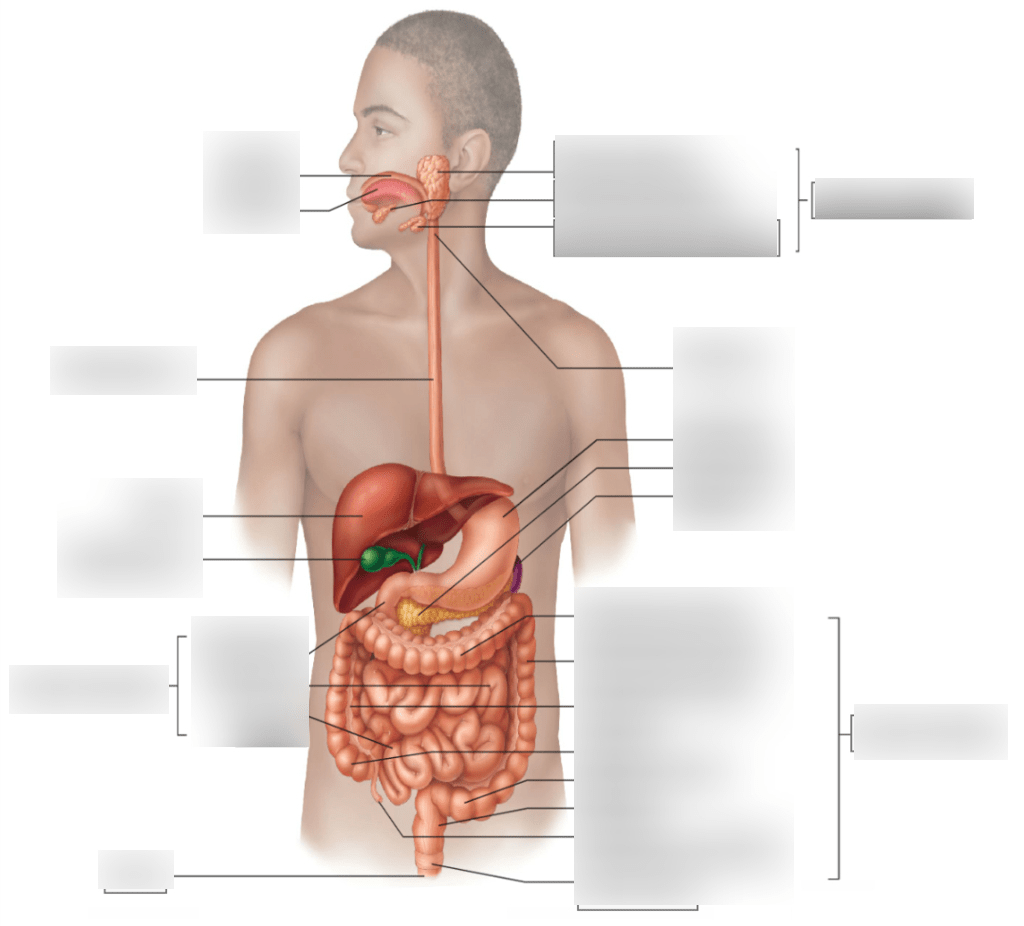 hight resolution of male digestive tract diagram