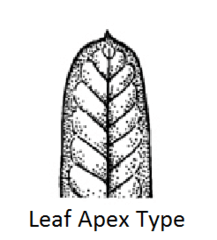 Mucronate (leaf apex type)