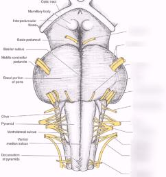 brain stem diagram [ 880 x 1024 Pixel ]