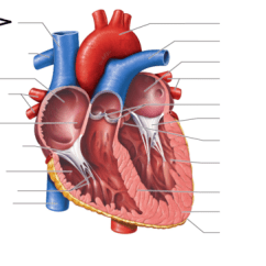 Interior Heart Diagram Fender Hot Rod Deluxe Wiring Flashcards Quizlet