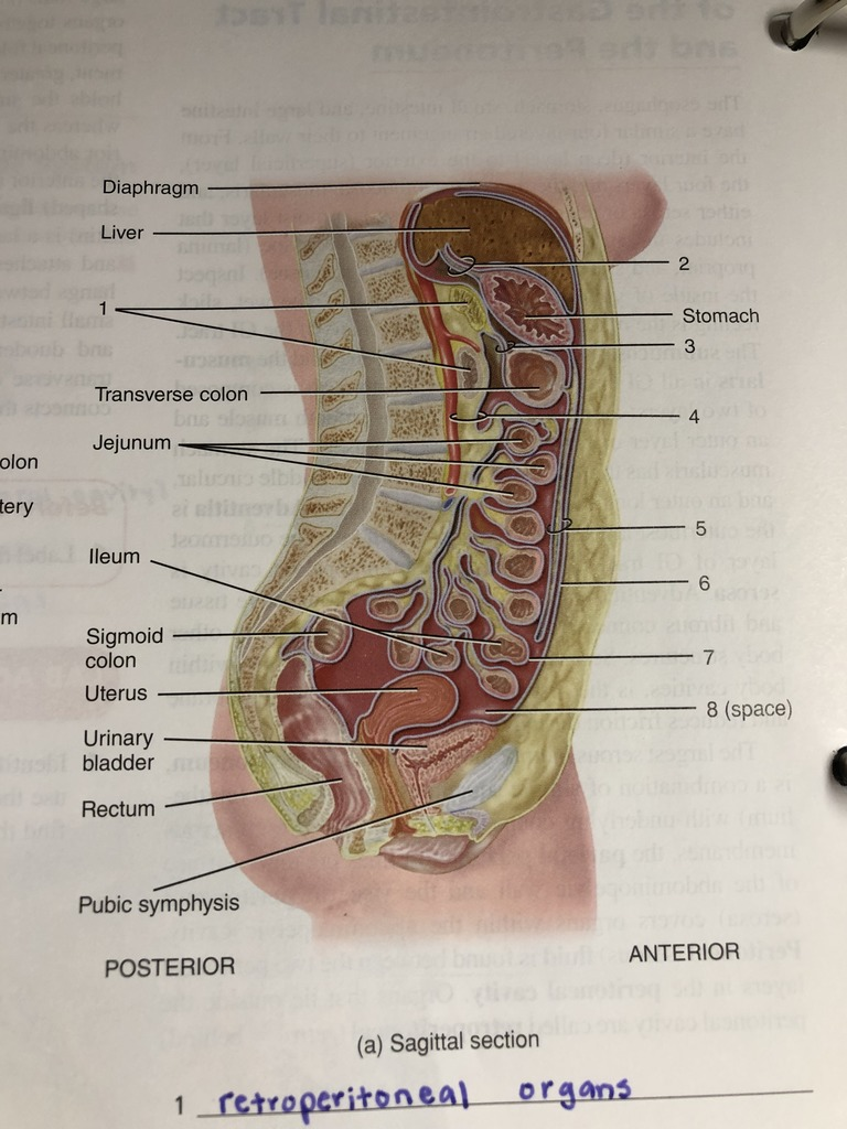 hight resolution of exercise 34 figure 34 3 peritoneal folds