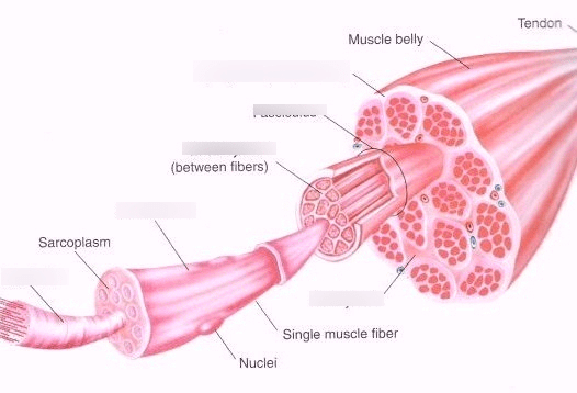 human muscle cell diagram australian 3 pin plug wiring quizlet location