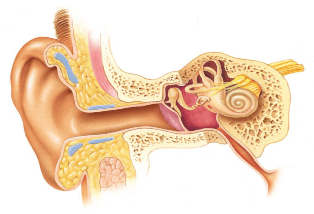 ear anatomy diagram labeled er for student information system labeling practice special senses quizlet location