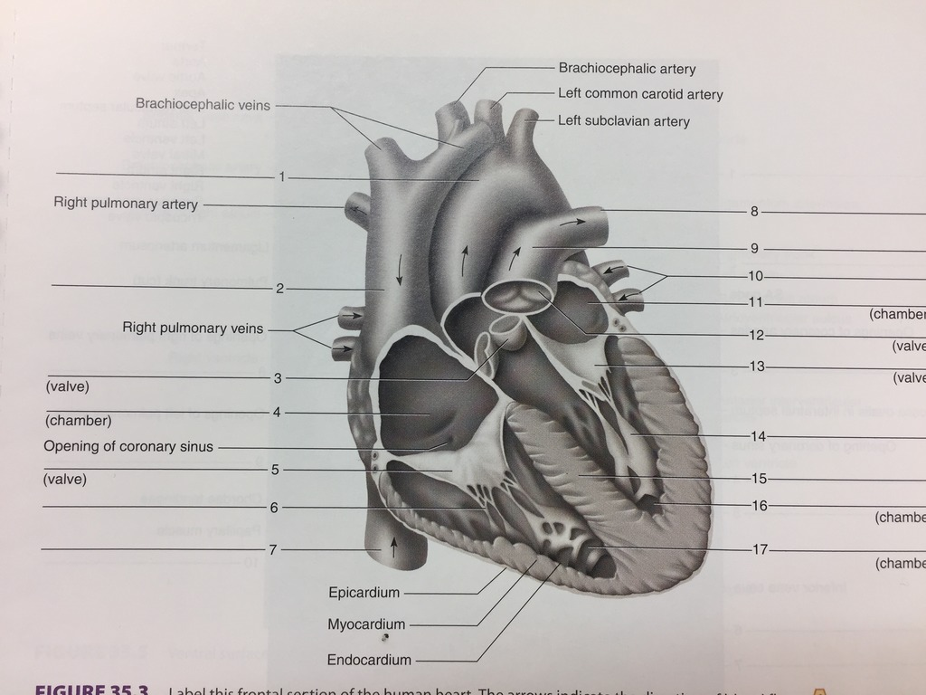 32 Label The Anterior View Of The Human Heart