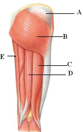 upper leg muscles diagram single phase voltage drop formula quizlet location