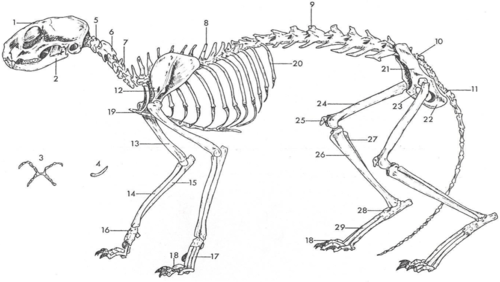 sheep skeleton diagram four way switch wiring cat all data flashcards quizlet whale anatomy