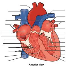 Interior Heart Diagram Paxton Door Access Wiring Anterior Quizlet Location