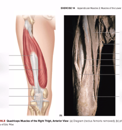 right thigh muscle diagram [ 1024 x 775 Pixel ]