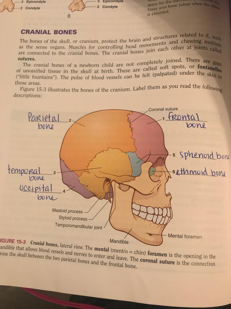 medium resolution of hprs 1206 exam 2 chapter 15 cranial bones