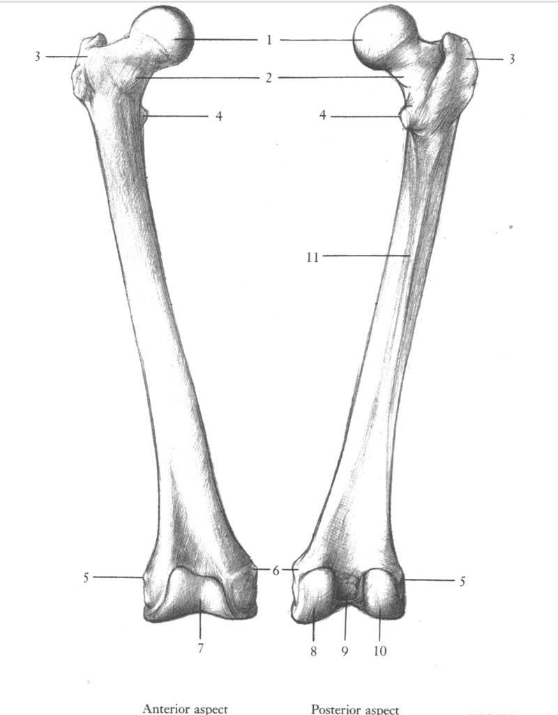 medium resolution of lab exam 2 femur patella