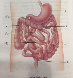 34 8a small intestine and large intestine anterior view  [ 892 x 1024 Pixel ]