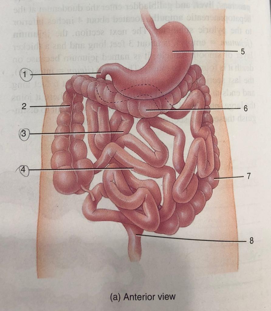 medium resolution of 34 8a small intestine and large intestine anterior view