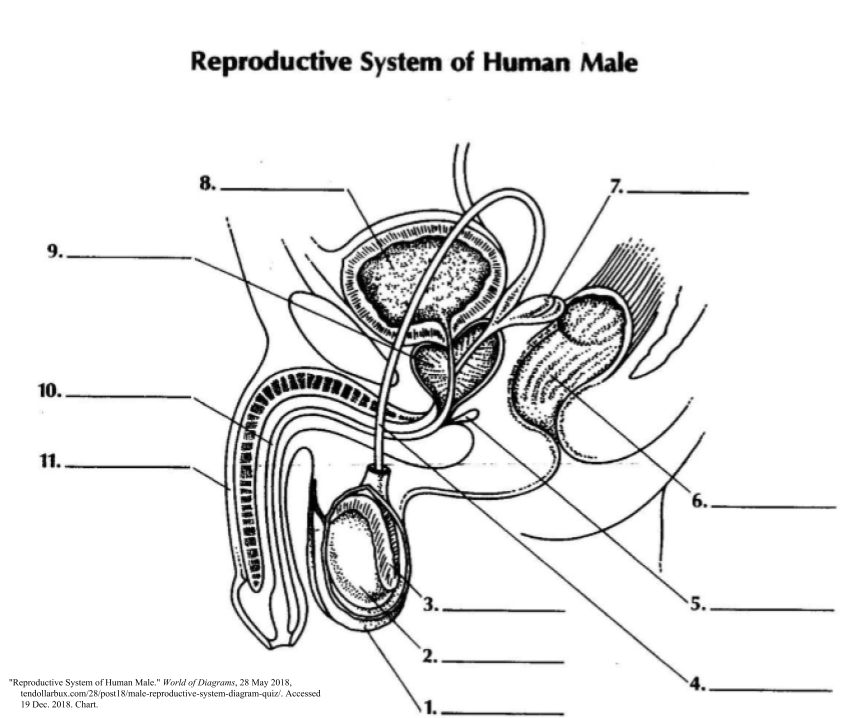 31 Label The Parts Of The Male Reproductive System