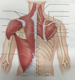 posterior muscles of neck shoulder and thorax [ 1024 x 768 Pixel ]