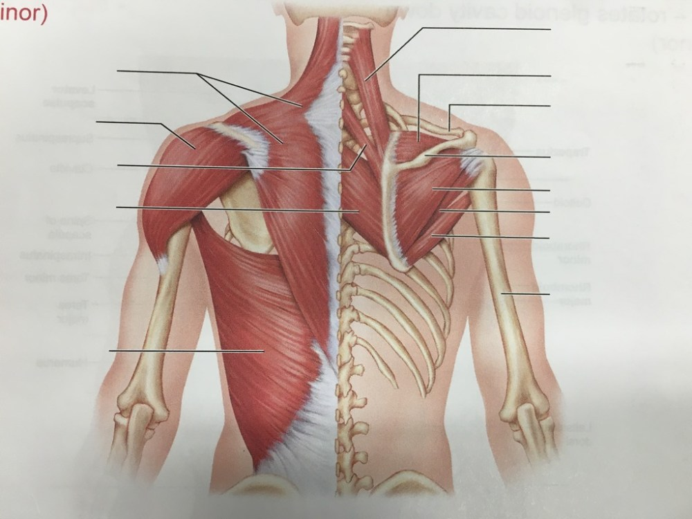 medium resolution of posterior muscles of neck shoulder and thorax
