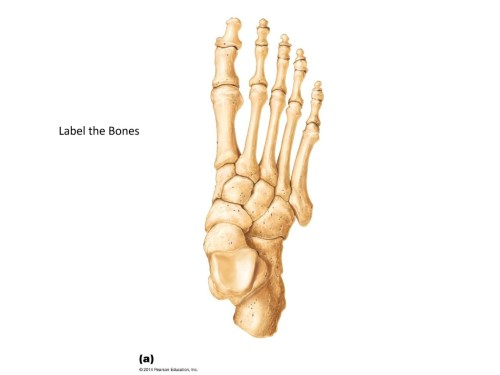 small resolution of human foot bone diagram